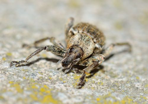 insects beetles weevil