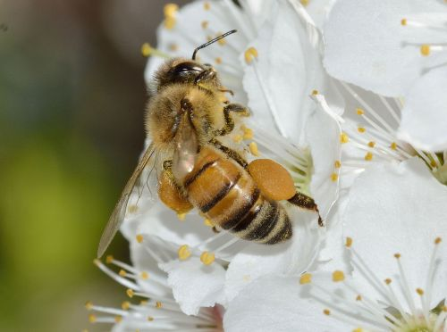 insects apis mellifera