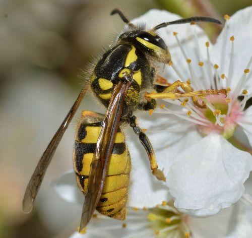 insects hymenoptera vespula