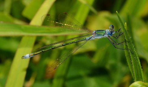insects odonata lestes