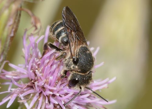 insects bee hymenoptera