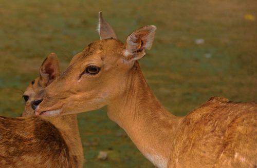 intimacy deer motherly love