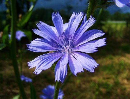 intybus chicory stalk light blue flower meadow flower