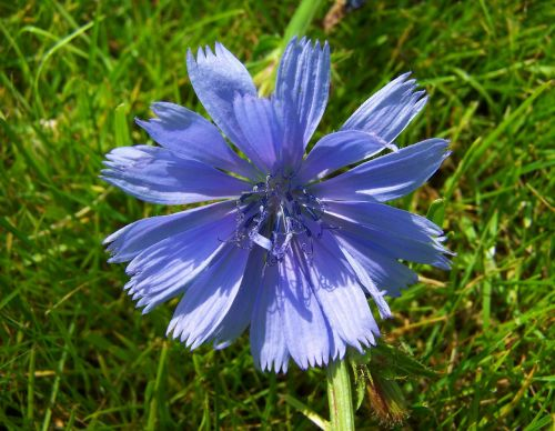 intybus chicory stalk light blue wildflower meadow flower