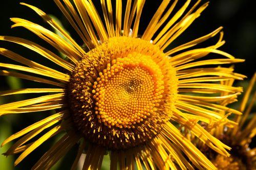 inula flower yellow