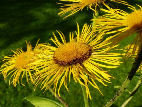 inula flower flowers