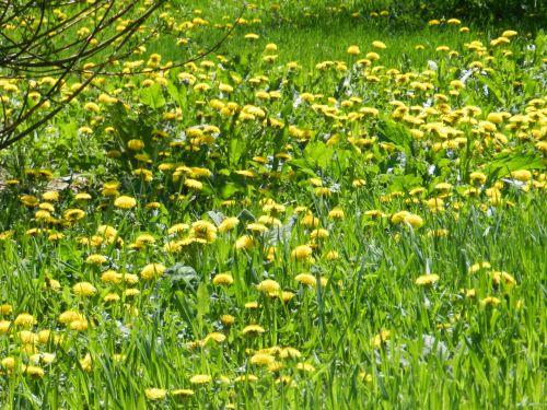 Invasion Of Dandelions (1)
