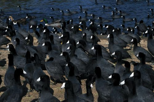 Invasion Of The Coots