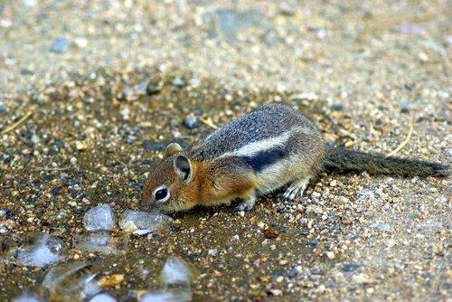 investigating ice  ground  squirrel