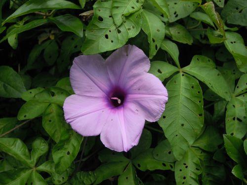 ipomoea morning glory purple