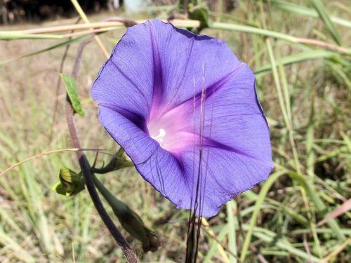 ipomoea purpurea purple common morning glory