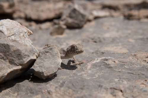 iran  gecko  desert