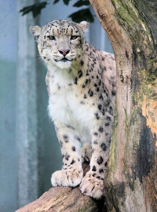 irbis  snow leopard  mountain