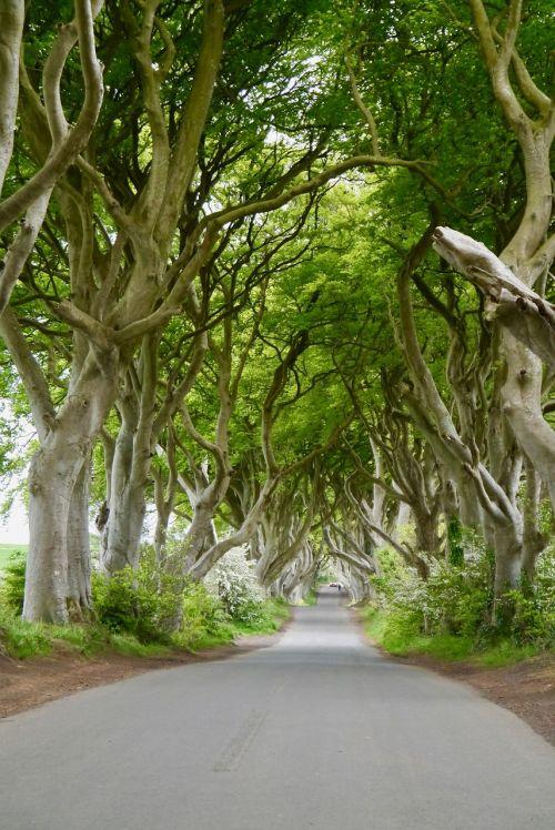 ireland the dark hedges beech