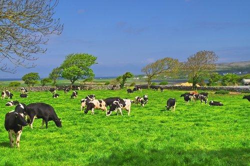 ireland  cow  beef