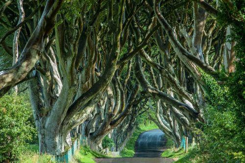 ireland tree lined avenue trees