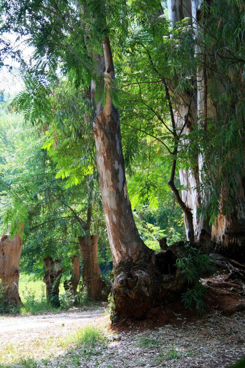 Irene Dairy Farm, Eucalyptus Tree