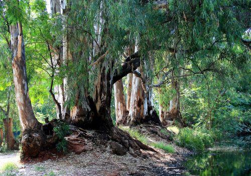 Irene Dairy Farm, Eucalyptus Trees