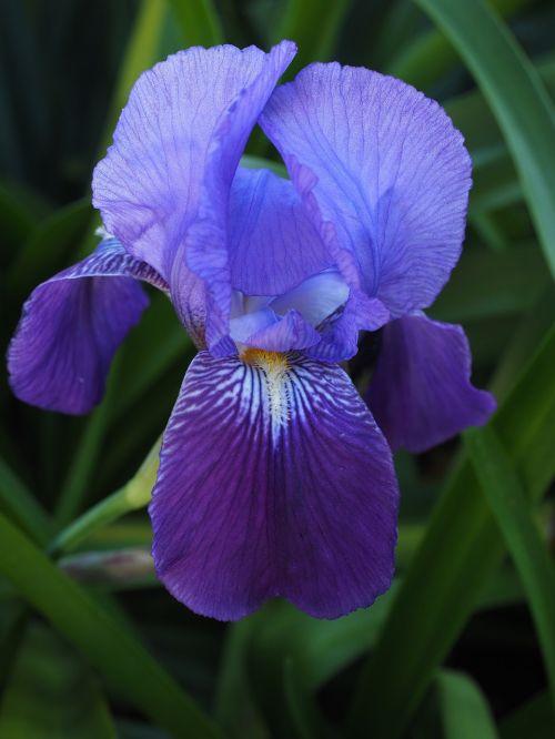 iris lily flower