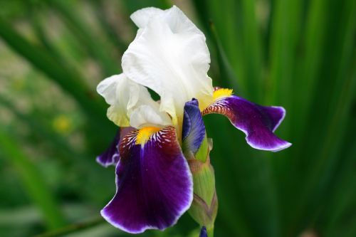 iris,white,yellow,purple,flower,garden,park,city,spring,plant,floral,natural,blossom,bloom,colorful
