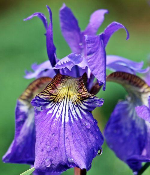 iris,gėlė,žiedas,žydėti,purpurinė gėlė,violetinė gėlė,gamta,sodas,tamsiai violetinė,violetinė,violetinė,botanika,flora,dekoratyvinis augalas,žydėti,Uždaryti,augalas,spalva,spalvinga,pavasaris,vasara,lietus,liūtys,lašelinė,vanduo,šlapias,karoliukas,išbėgti,šviesti,lašas vandens,lašeliai