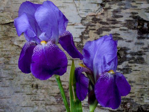 iris flower spring