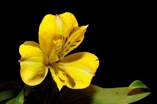 iris blossom bloom