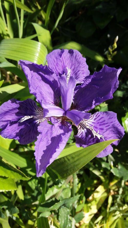 iris summer solid