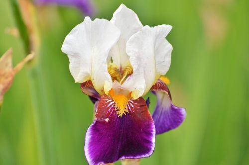 iris flower lily