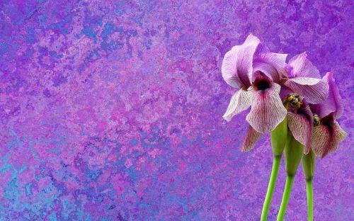 iris,gėlė,violetinė,mėlynas,žiedas,žydėti,augalas,gamta,sodas,flora,violetinė,tamsiai violetinė,žydėti