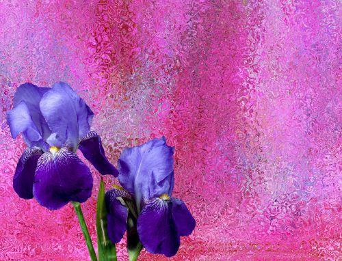 iris,gėlės,žiedas,žydėti,sodas,schwertliliengewaechs,augalas,tamsiai violetinė,violetinė,iris variegata,barzdos rainelė,mėlynas,gamta,violetinė