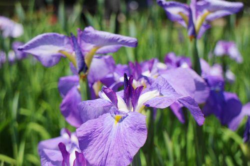 iris flowers june