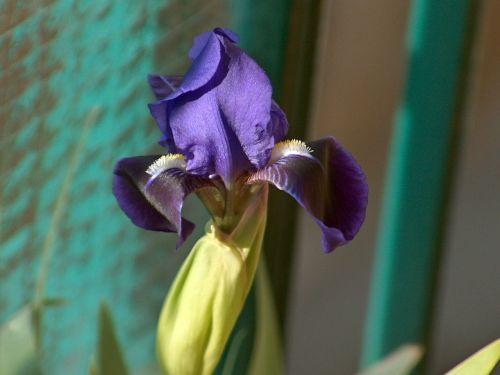 iris plant nature