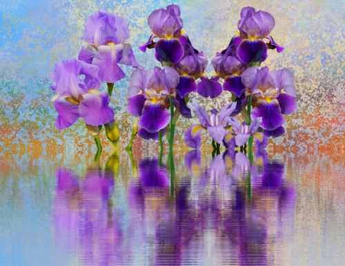 iris flower schwertliliengewaechs