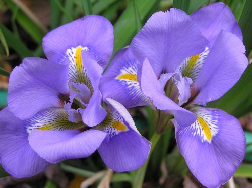 iris mauve flower