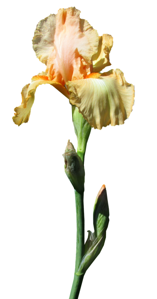 iris yellow stem