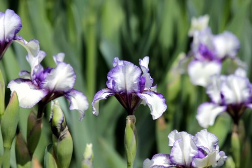 iris  flower  spring flowers