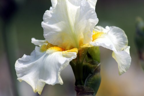 iris  flower  handsomely