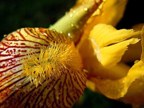iris  yellow  flower