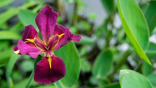 iris  magenta  flower