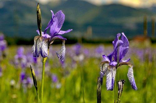 iris  meadow  nature