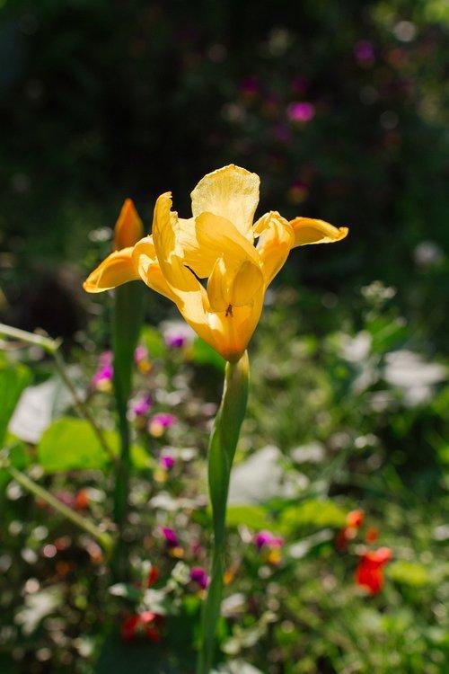 iris  flower  sunset