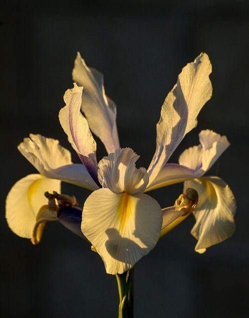 iris flower white