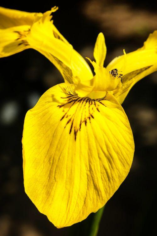 iris beetle pest