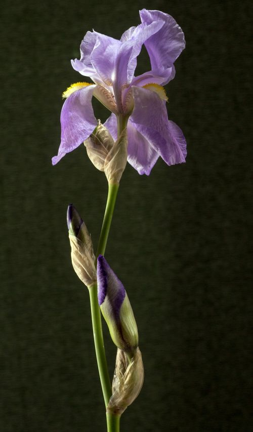 iris dark purple blossom