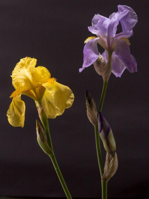 iris dark purple yellow