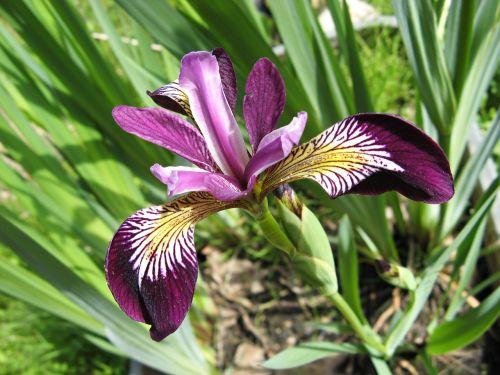 iris,violetinė,iridaceae,tamsiai violetinė,violetinė,žiedas,žydėti,dekoratyvinis augalas