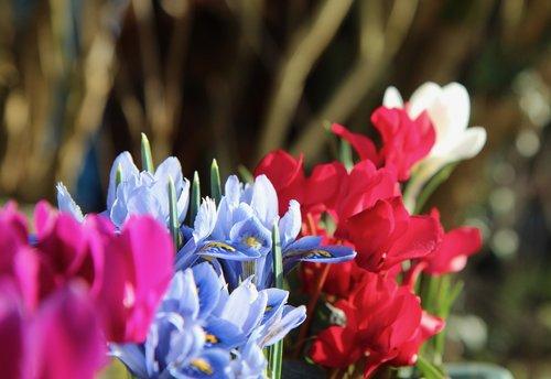 iris blue  iris  cyclamen