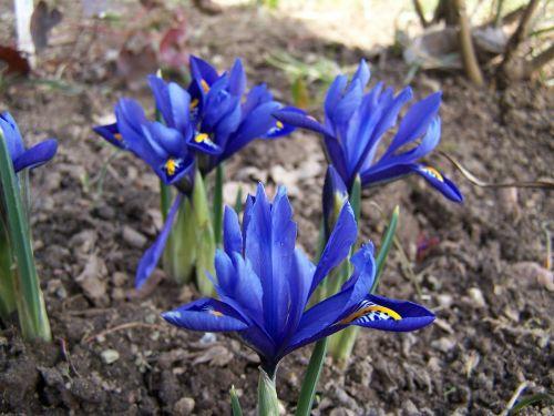 iris breeding iris schwertliliengewaechs