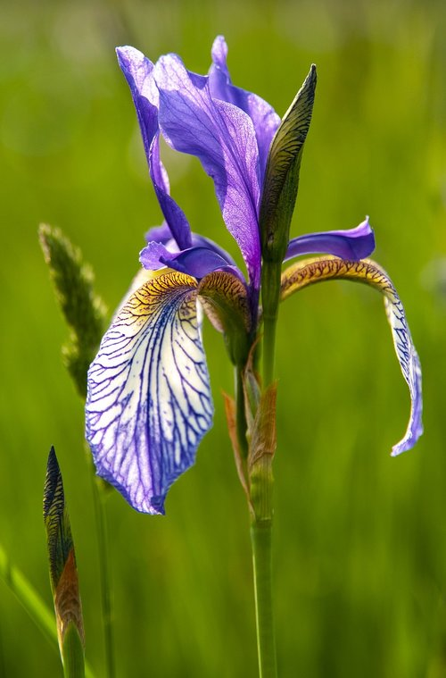 iris sibirica  blossom  bloom